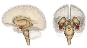 amigdal